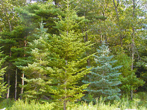 Some trees of the Blisscapes Nursery - Arizona Fir, Concolor Fir